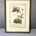 SET OF 4 ENGLISH BOTANICAL ENGRAVINGS c. 1750